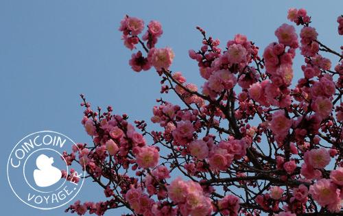 Palais-Changdeokgung-cerisier