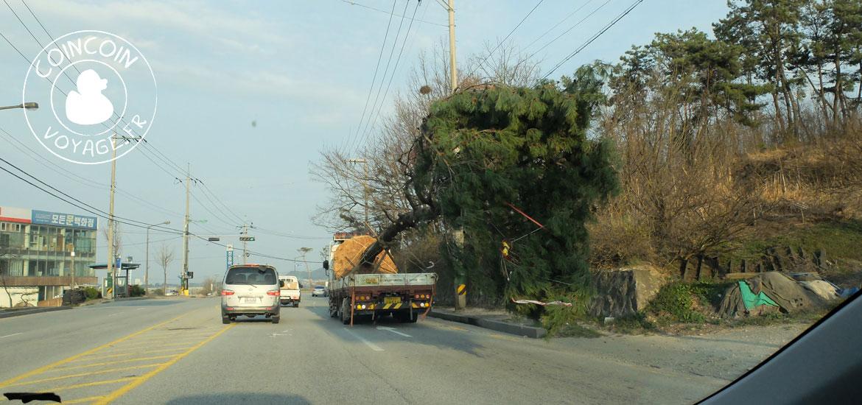 location voiture jéju corée arbre